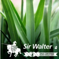 Sir Walter Buffalo - Instant Turf